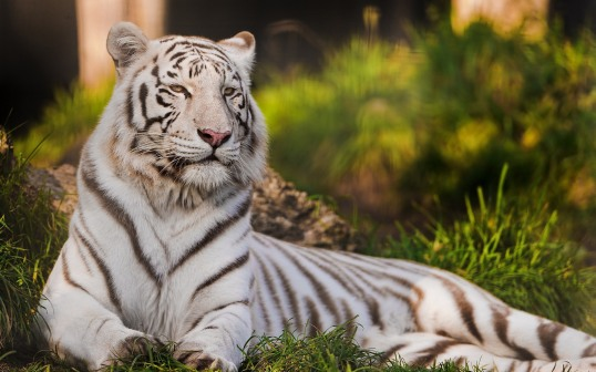 white-tiger-hd-desktop